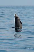 Cuvier's beaked whale, Ziphius cavirostris, breaching, Ligurian Sea, Italy, Mediterranean Sea