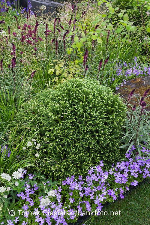 Perennials and evergreen shrub composition