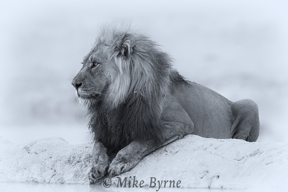 Lion at a waterhole in Etosha, Namibia.
