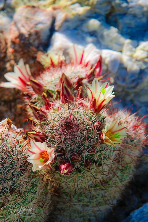 Fishhook Cactus (Mammillaria microcarpa) blooming in Plum Canyon, Anza-Borrego Desert State Park, California USA