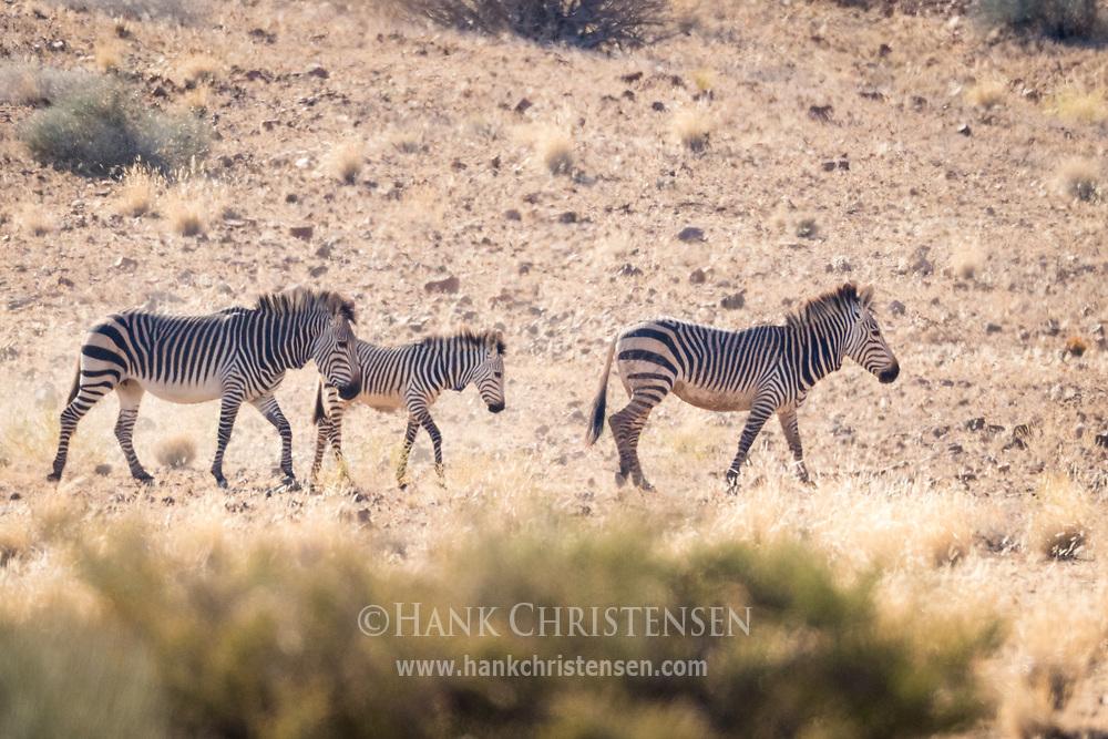 A family of threatened mountain zebra moves across the arid landscape of Damaraland, Twyfelfontein, Namibia.