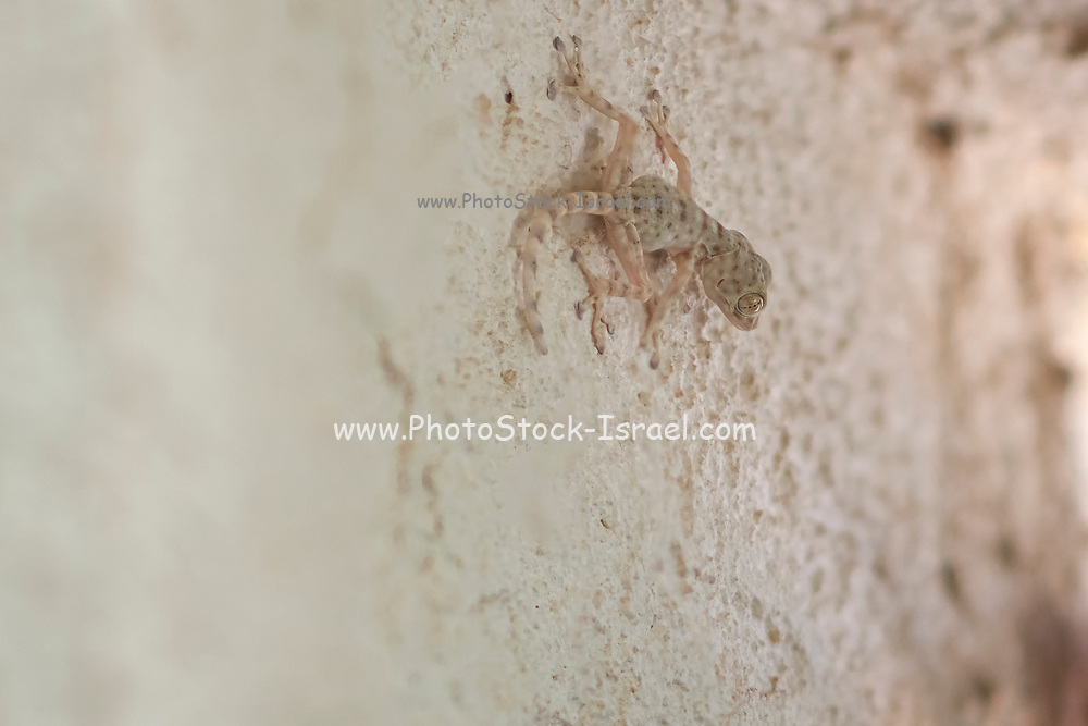 Mediterranean house gecko (Hemidactylus turcicus) on a wall. Mediterranean house geckos are nocturnal insectivores that cling to surfaces using the wide pads on their toes. They are voracious predators and are attracted to light sources to find their prey. Photographed in Israel in September