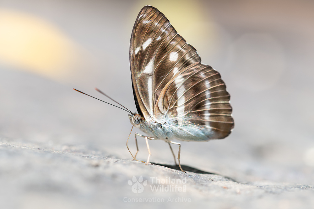 The Grey Sailor is predominantly a forest-dependent butterfly and is not frequently seen in urban parks and gardens. It tends to stay at forest edges and within the vicinity of forested areas and particularly where its caterpillar host plant, Gironniera nervosa is found. The typical black-and-white striped uppersides tend to get this species confused with two other lookalike species - the Common Sailor and Short-Banded Sailor.