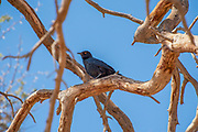 Fork-tailed drongo (Dicrurus adsimilis)  in a camel thorn Acacia tree at Sossusvlei, Namib-Naukluft National Park, Namibia, Southern Africa.