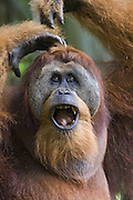 Sumatran Orangutan<br /> Pongo abelii<br /> Dominant adult male<br /> North Sumatra, Indonesia<br /> *Critically Endangered