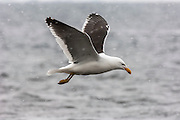 Kelp Gull (Larus dominicanus) flying in a snow storm, Brown Bluff, Antarctic Peninsula