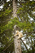 Spirit Bear Cub hanging out in the tree - Special Sighting!