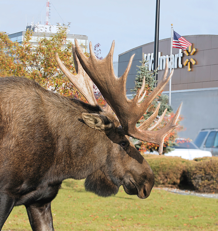 Alaska; Bull moose(Alces alces) visiting Walmart in midtown Anchorage. (HDR image merge)