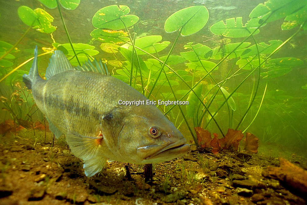 Largemouth Bass in Lily Pads<br /> <br /> Engbretson Underwater Photo