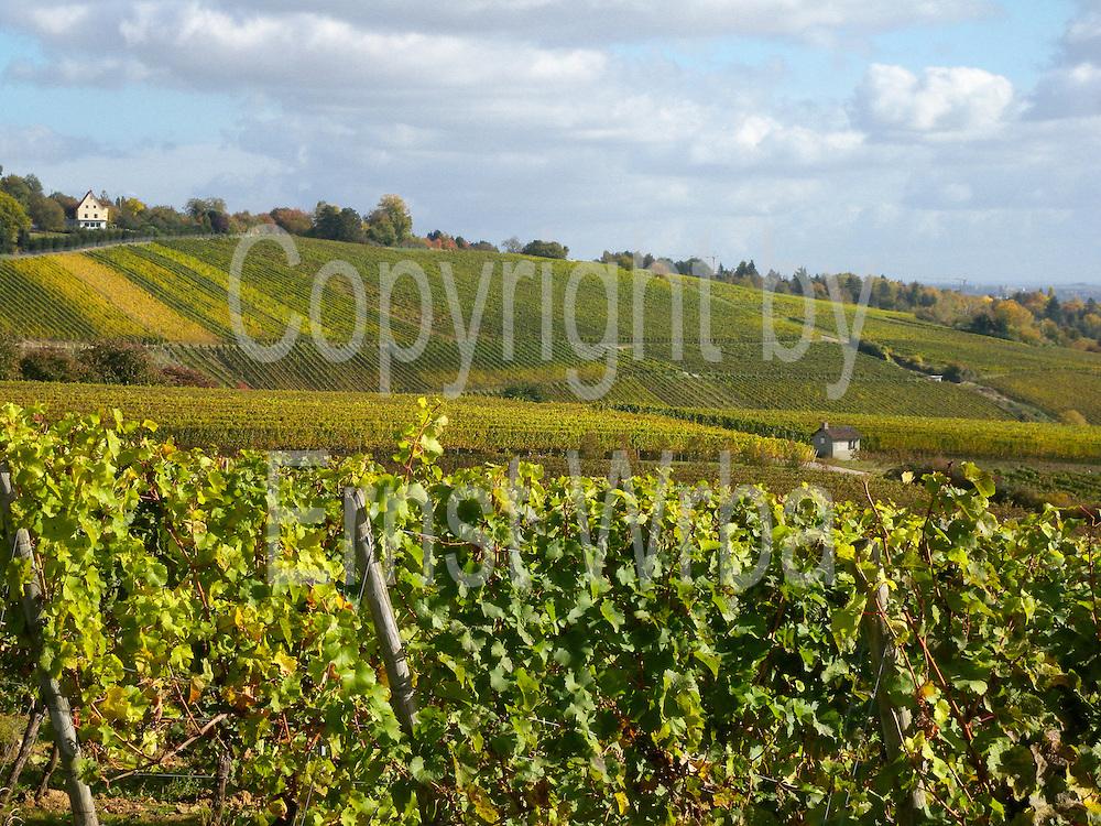 Weinberge mit Himmelreich, Herbst, Wiesbaden-Frauenstein, Rheingau, Hessen, Deutschland. .vineyards and Himmelreich (house on hill) in Wiesbaden-Frauenstein, autumn, Rheingau, Hessen, Germany