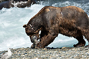 A large adult grizzly bear eats a chum salmon caught in the upper McNeil River falls at the McNeil River State Game Sanctuary on the Kenai Peninsula, Alaska. The remote site is accessed only with a special permit and is the world's largest seasonal population of brown bears.