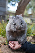 Common Wombat <br /> Vombatus ursinus<br /> Orphaned wombat named Tina (mother was hit by car). Will be released to the wild. <br /> Bonorong Wildlife Sanctuary, Tasmania, Australia<br /> *Captive- rescued and in rehabilitation program