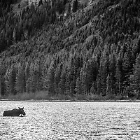 cow moose in lake, glacier national park, Montana
