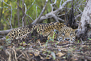 Jaguar<br /> Panthera onca<br /> Large male laying flat on forest floor<br /> Cuiaba River, Brazil