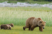 Alaskan Brown Bear Sow and  three Cubs, Ursus Middendorffi, grazing in meadow, feeding on grass, Katmai National Park, Alaska
