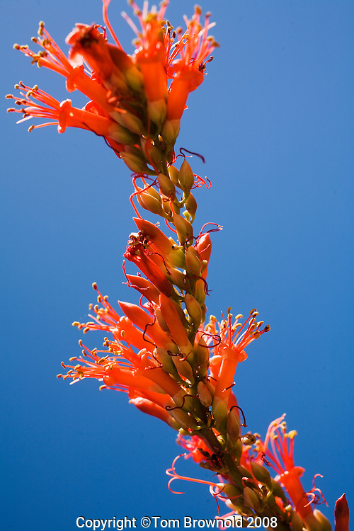 Ocotillo bloom and blue sky