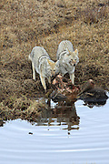 A pair of coyotes feed on a bison carcass.