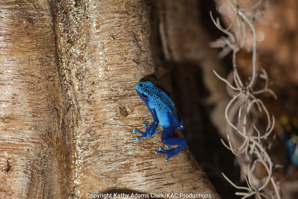 """Dyeing Dart Frog in azure form, blue poison dart frog, blue poison arrow frog, Dendrobates tinctorius """"azureus"""", poison dart frog, found in Suriname, Photographed at Moody Gardens, Galveston, Texas"""