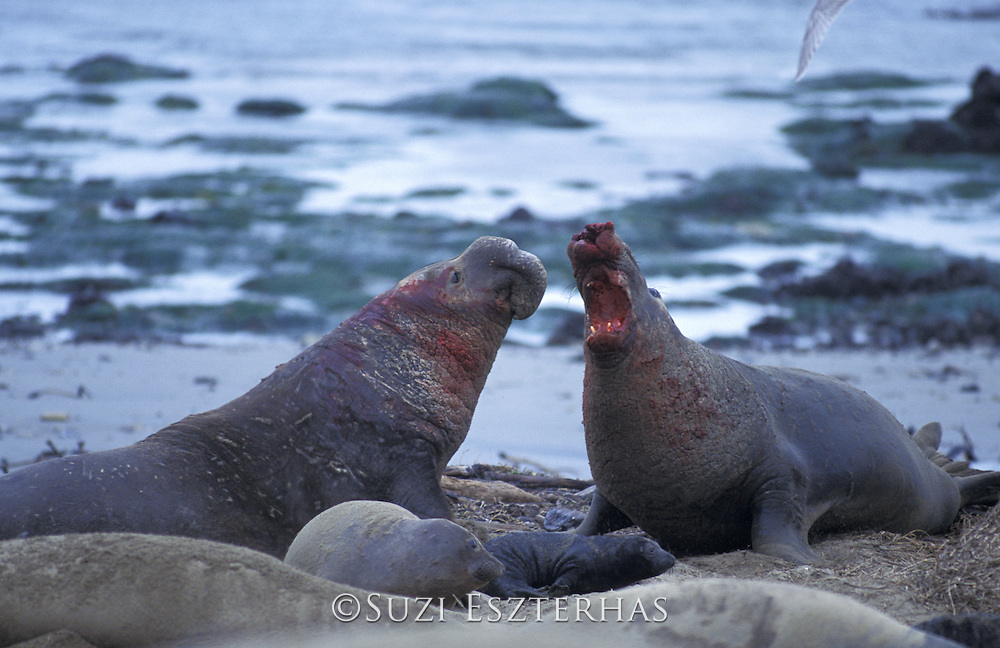 Northern Elephant Seal <br /> Mirounga angustirostris<br /> Large bulls bloody from fighting<br /> Ano Nuevo State Reserve, CA, USA