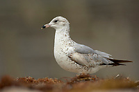 Glaucous -winged gull