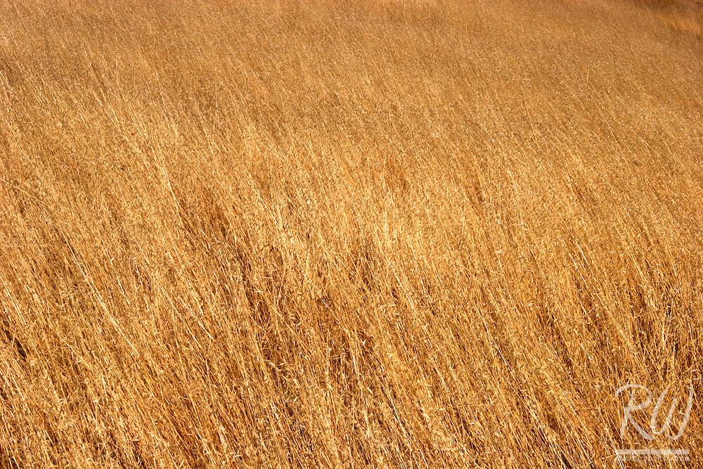 Dry Summer Grass, Mount Tamalpais State Park, California
