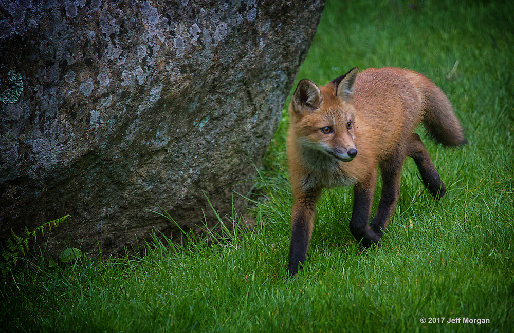 A Red Fox kit sneaks into the field ahead of it's mother.