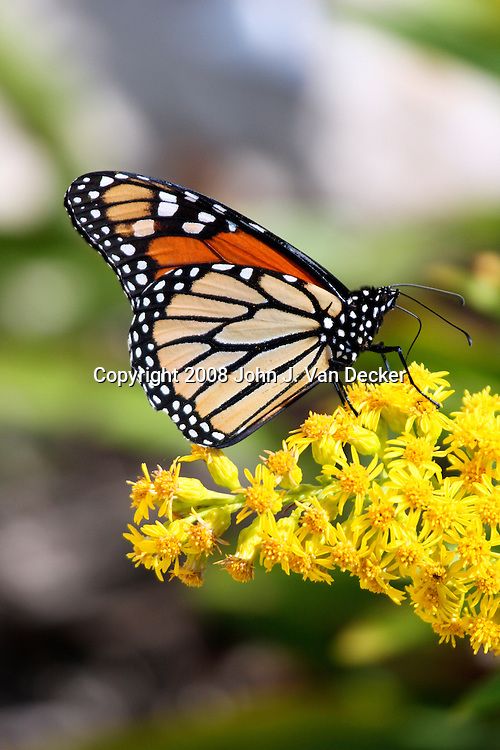 Monarch Butterfly with wings folded on Seaside Goldenrod