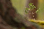 Scots Pine seedling growing next to large ancient pines.  In the Cairngorms National Park. Highlands, Scotland.