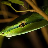 Central American Vine Snake