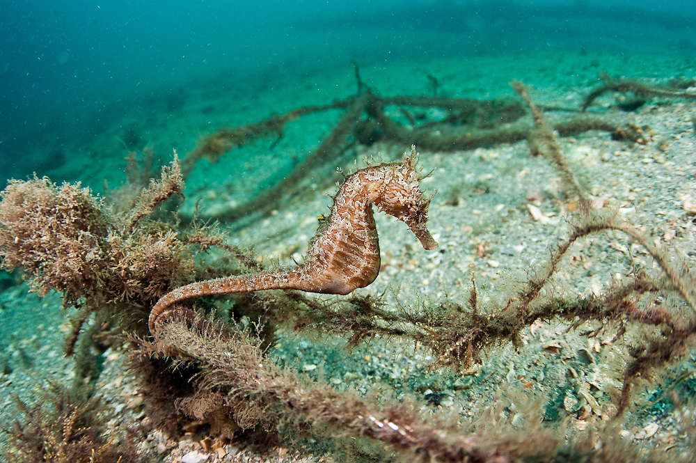 Lined Sea Horse, Hippocampus erectus, hides underneath a pier in the Lake Worth Lagoon, Palm Beach County, Florida