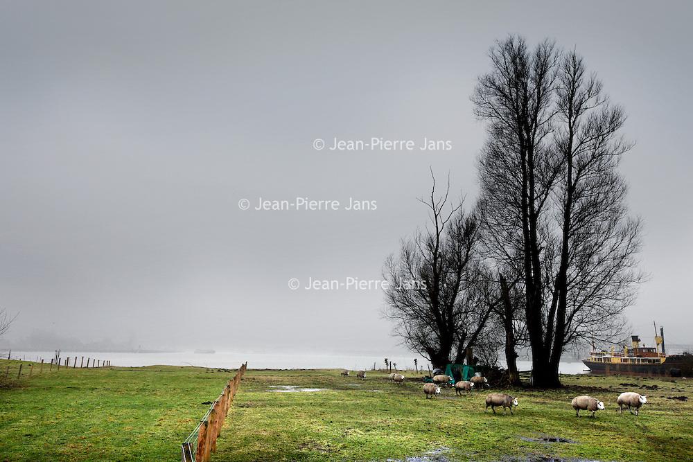Nederland, Amsterdam, 19 januari, 2010..Het voor publiek opengestelde natuurgebied bij Schellingwoude aan het IJ..Op de foto Texelsche schapen grazen in het natuurgebied langs het IJ...Foto:Jean-Pierre Jans