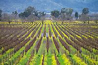 Vineyards in Winter, Napa Valley, California