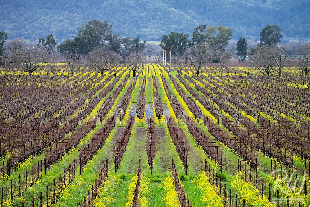 Vineyards in Winter, Napa Valley, California