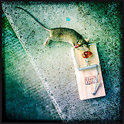 A dead mouse, caught in a little nipper mouse trap using an almond as bait.