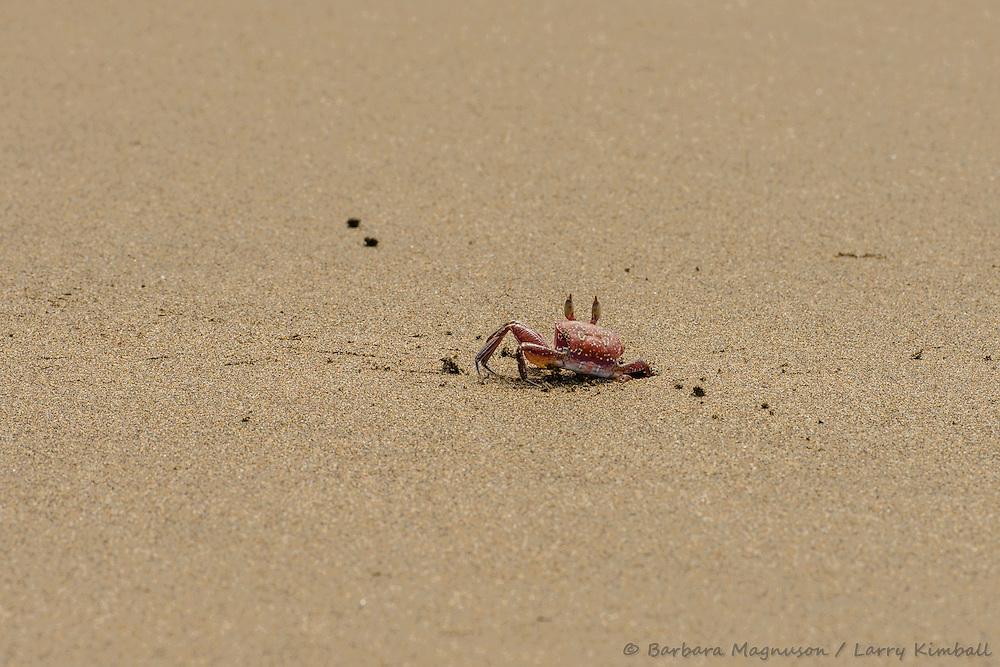 Fiddler Crab [Uca sp] digging burrow; Playa Las Lajas, Panama