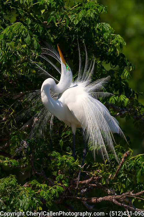 Great Egret in courting display position