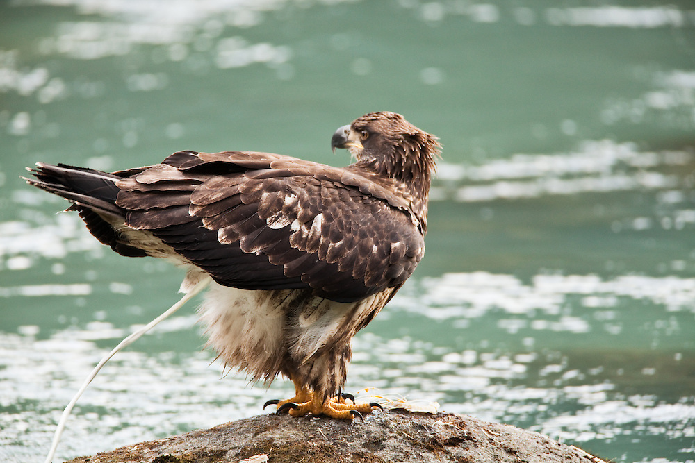 Juvenile Bald Eagle defecating on boulder in Chilkoot River in Haines in Southeast Alaska. Winter. Afternoon.