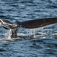 Severley damaged tail of North Atlantic right whale (Eubalaena glacialis), the result of a ship strike. Gulf of Saint Lawrence, Canada. IUCN Status: Endangered.