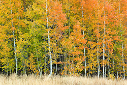 """Autumn Aspens 4"" - Photograph of Aspens in Autumn, shot above Lake Tahoe."