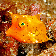 Thornback Cowfish inhabit sand, rubble and weed bottoms, often near reefs. Picture taken Lembeh Straits, Sulawesi, Indonesia.
