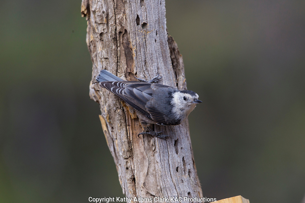 White-breasted nuthatch, Sitta carolinensis; upside down, Sonoran Desert; Southern; Summer; Arizona;