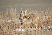 Adult Coyote searches the sagebrush and snow for mice.