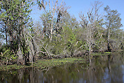 Barataria Swamp area near New Orleans, LA