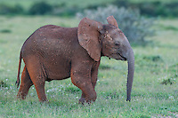 African Elephant calf with raised ears in warning, Addo Elephant National Park, Eastern Cape, South Africa