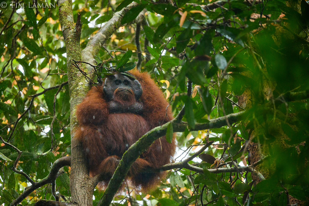 "Bornean Orangutan - ""wurmbii"" subspecies<br /> (Pongo pygmaeus wurmbii)<br /> <br /> Adult male ""Codet"" sitting out heavy rain with leaf ""umbrella""<br /> <br /> Cabang Panti Research Station<br /> Gunung Palung National Park<br /> West Kalimantan, Indonesia<br /> Borneo Island"