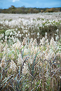 Reeds in salt marsh on Cape Cod, Massachusetts, USA
