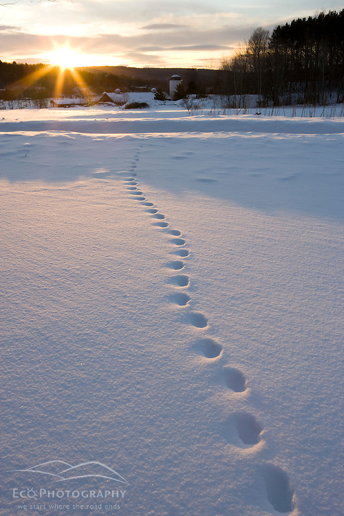 Fox tracks in the snow at sunrise, Quechee, Vermont.