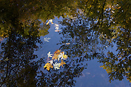 Salisbury Mills, New York  - Autumn leaves float in the Moodna Creek on Oct. 5, 2013.