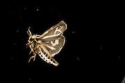 A moth (Grammia yavapai) flies at night near the Big Hole River in Montana. Photographed via permit at Big Hole National Battlefield.