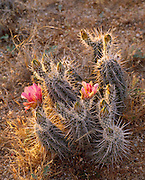 0115-1013B ~ Copyright: George H. H. Huey ~ Strawberry hedgehog cactus [Echincereus engelmannii] in bloom. Saguaro National Monument, Arizona.